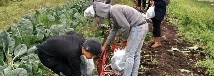 Photograph of participants harvesting rainbow chard.
